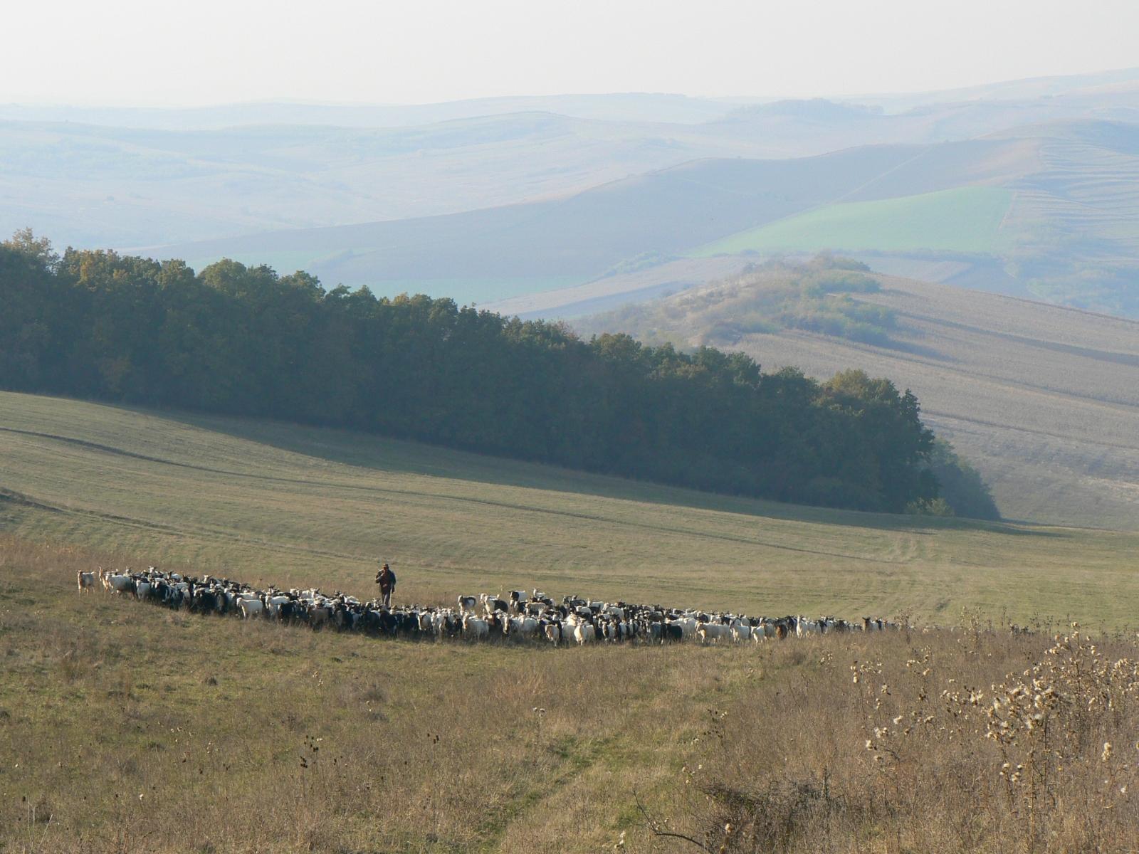 Onze kudde geiten met herder in Porumbac (2009)